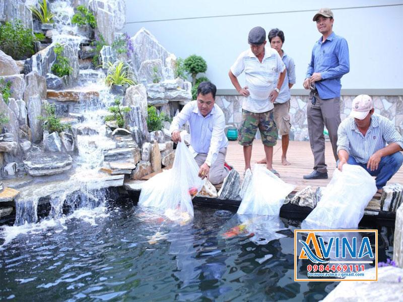 Thả cá koi vào hồ khi đã hoàn thành xong hồ